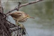 070.017.Ixobrychus-sinensis001.Juv_.Bundala-NP.Sri-Lanka.3.12.2018
