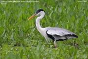 070.044.Ardea_cocoi001.Pantanal.Brazylia.12.11.2013