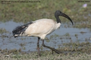 Threskiornis_aethiopicus01.Ziway_Lake.Etiopia.21.11.2009