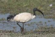 Threskiornis_aethiopicus02.Ziway_Lake.Etiopia.21.11.2009
