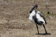 Threskiornis_aethiopicus04.Awasa.Etiopia.12.11.2009