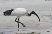 Threskiornis_aethiopicus07.Mida_Creek.Kenia.PJ.18.09.2011