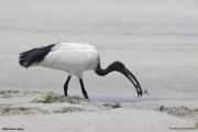 Threskiornis_aethiopicus10.Mida_Creek.Kenia.PJ.18.09.2011