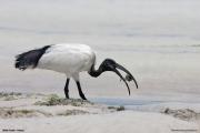 Threskiornis_aethiopicus11.Mida_Creek.Kenia.PJ.18.09.2011