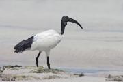 Threskiornis_aethiopicus13.Mida_Creek.Kenia.PJ.18.09.2011