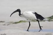 Threskiornis_aethiopicus15.Mida_Creek.Kenia.PJ.18.09.2011
