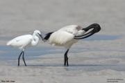 Threskiornis_aethiopicus17.Mida_Creek.Kenia.PJ.18.09.2011