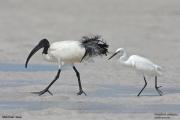 Threskiornis_aethiopicus18.Mida_Creek.Kenia.PJ.18.09.2011