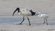 Threskiornis_aethiopicus20.Mida_Creek.Kenia.PJ.18.09.2011