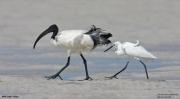 Threskiornis_aethiopicus21.Mida_Creek.Kenia.PJ.18.09.2011