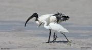 Threskiornis_aethiopicus23.Mida_Creek.Kenia.PJ.18.09.2011