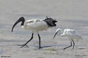 Threskiornis_aethiopicus26.Mida_Creek.Kenia.PJ.18.09.2011