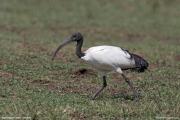 Threskiornis_aethiopicus30.Ngorongoro.Tanzania.21.03.2013