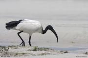 Threskiornis_aethiopicus08.Mida_Creek.Kenia.PJ.18.09.2011