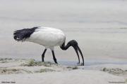 Threskiornis_aethiopicus09.Mida_Creek.Kenia.PJ.18.09.2011