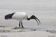 Threskiornis_aethiopicus12.Mida_Creek.Kenia.PJ.18.09.2011