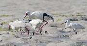 Threskiornis_aethiopicus14.Mida_Creek.Kenia.PJ.20.09.2011
