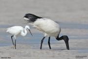 Threskiornis_aethiopicus16.Mida_Creek.Kenia.PJ.18.09.2011