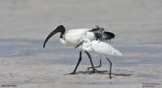 Threskiornis_aethiopicus22.Mida_Creek.Kenia.PJ.18.09.2011