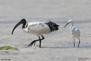 Threskiornis_aethiopicus25.Mida_Creek.Kenia.PJ.18.09.2011