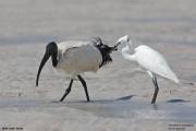 Threskiornis_aethiopicus27.Mida_Creek.Kenia.PJ.18.09.2011