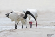 Threskiornis_aethiopicus28.Mida_Creek.Kenia.PJ.29.09.2011