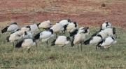Threskiornis_aethiopicus29.Tsavo_East_N.P.Kenia.PJ.22.09.2011