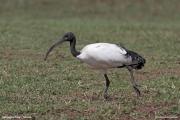 Threskiornis_aethiopicus31.Ngorongoro.Tanzania.21.03.2014