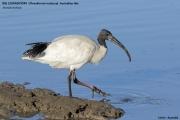 Threskiornis_moluccus01.Cairns.Australia.25.07.2015