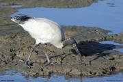 Threskiornis_moluccus02.Cairns.Australia.25.07.2015