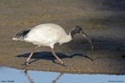 Threskiornis_moluccus08.Cairns.Australia.25.07.2015