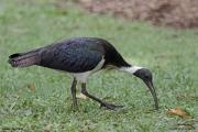 Threskiornis_spinicollis04.Cairns.Australia.28.07.2015