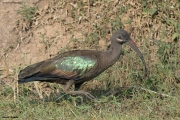Bostrychia_hagedash13.Hoima.Uganda.17.02.2011
