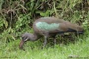 Bostrychia_hagedash19.Bushara_Is.Lake_Bunyonyi.Uganda.3.03.2011