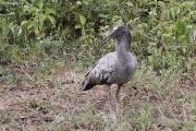 Theristicus_caerulescens02.Pantanal.Brazylia.13.11.2013