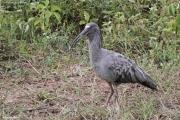 Theristicus_caerulescens03.Pantanal.Brazylia.13.11.2013