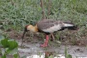 Theristicus_caudatus06.Pantanal.Brazylia.18.11.2013