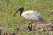 Threskiornis_melanocephalus0003.Bundala_NP.Sri_Lanka.3.12.2018