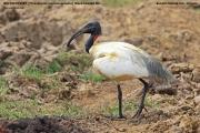071.004.Threskiornis melanocephalus001.Bundala NP.Sri Lanka.3.12.2018