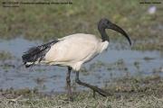 071.002.Threskiornis aethiopicus001.Ziway Lake.Etiopia.21.11.2009