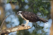 074.Pandion-haliaetus001.Rio-Tarcoles.Costa-Rica.29.11.2015