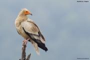 Neophron percnopterus32.Madzharovo.Bulgaria.PJ.28.05.2017