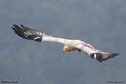 Neophron percnopterus46.Madzharovo.Bulgaria.MJ.27.05.2017