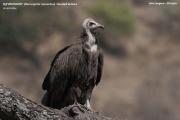075.Necrosyrtes_monachus02.Langano.Ethiopia.21.11.2009
