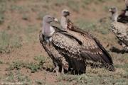 Gyps_rueppellii05.Droga_Lake_Natron__Lake_Manyara.Tanzania.20.03.2013