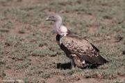 Gyps_rueppellii06.Droga_Lake_Natron__Lake_Manyara.Tanzania.20.03.2013