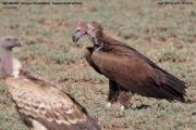 Torgos_tracheliotos01.Droga_Lake_Natron__Lake_Manyara.Tanzania.20.03.2013