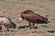 Torgos_tracheliotos02.Droga_Lake_Natron__Lake_Manyara.Tanzania.20.03.2013