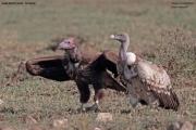 Torgos_tracheliotos05.Droga_Lake_Natron__Lake_Manyara.Tanzania.20.03.2013