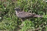 Nisaetus cirrhatus004.Udawalawe NP.Sri Lanka.29.11.2018